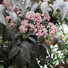 סמבוק שחור | פרחים | 100 גרם | Sambucus nigra | Elder flower