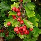 עוזרד | פרחים | 100 גרם | Crataegus Oxyacant. | Hawthorn