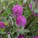 תלתן אדום | פרחים | 100 גרם | Trifolium pratense | Red clover