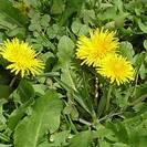 שינן רפואי/שן ארי | עלים | 100 גרם | Taraxacum officinalis folia | Dandelion leaf