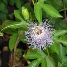 פסיפלורה | שעונית-רפואית | עלים | 100 גרם | Passiflora incarnata | Passion flower