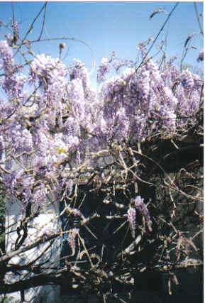 פרחי פעמון סגולים - דפנה דגן - צלמת