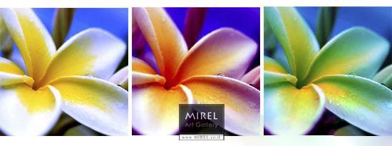 פרח הצבעוני